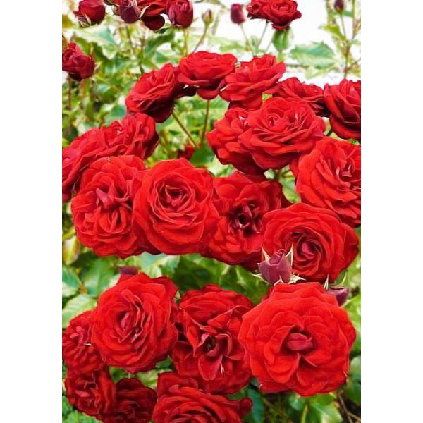 Роза спрей Таманго