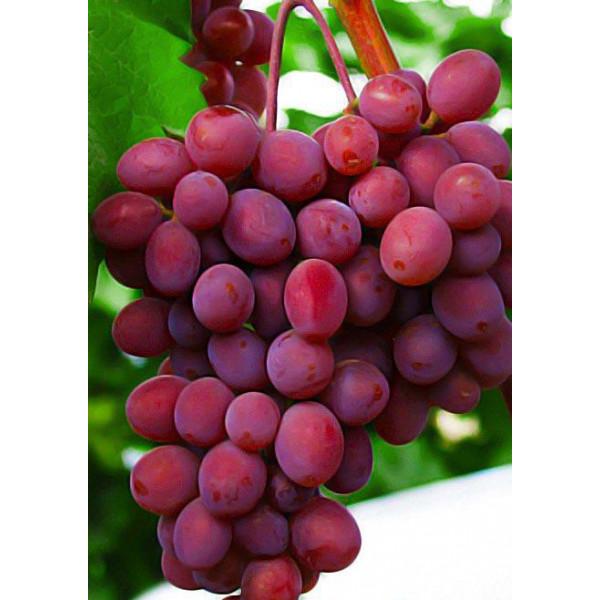 Виноград Запорожский