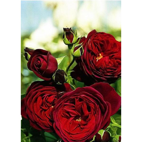 Роза флорибунда Графин фон Харденберг