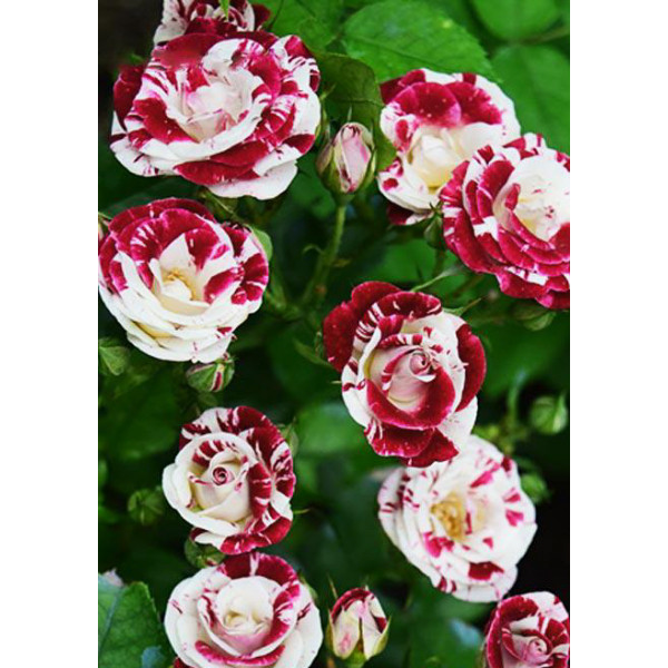 Роза спрей Спарлинг-Бело-черный