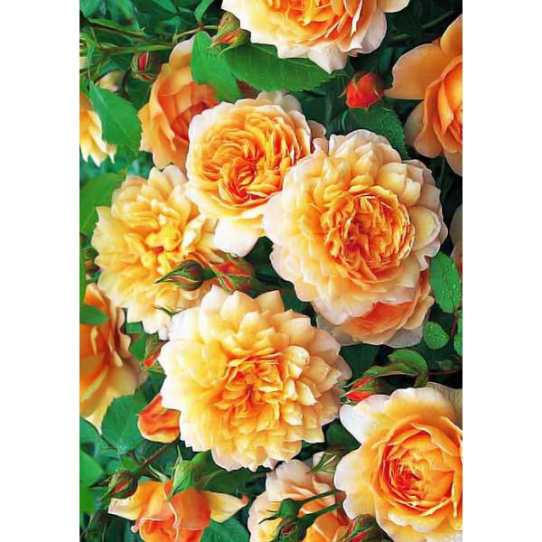Роза парковая Грейс