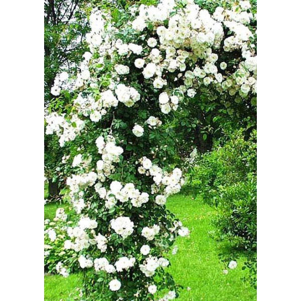 Роза плетистая Амур
