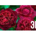 Роза английская Манстед Вуд